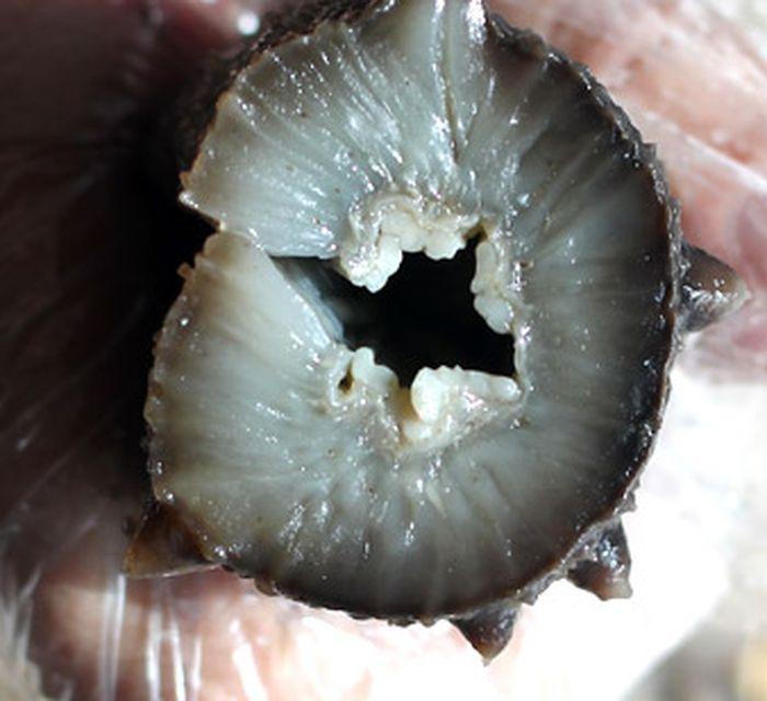 [原创]大连 长海 小长山岛 纯野生 腌制海参